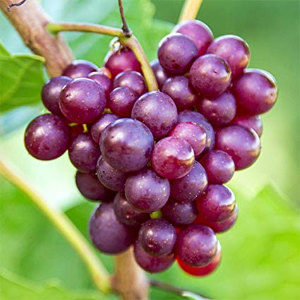 Were Grapes the Fruit that Adam and Eve Ate?